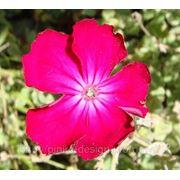 Лихнис корончатый — Lychnis coronaria = Lychnis coriacea Moench фото