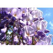 ГЛИЦИНИЯ, ВИСТЕРИЯ — wisteria floribunda фото