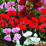 Герань Водопад лета плющелистная смесь 5шт Русский Огород фото