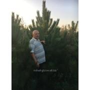 Сосна крымская из питомника Красноград, поставки по Украине фото