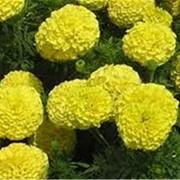 Семена цветочных культур фото