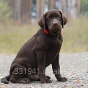 Шоколадный щенок лабрадора, мальчик фото