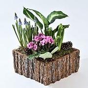 Горшечные растения «Сосновый бор» фото