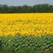 Торговые поставки сортов и гибридов семян свеклы сахарной. фото