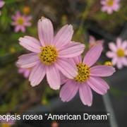 """Кореопсис розовый (Creopsis rosea)""""American Dream"""" фото"""