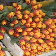 Тюльпаны различных сортов фото