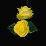 Роза Latina фото