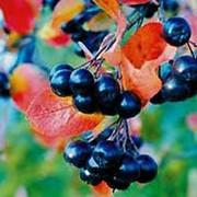 Рябина черноплодная фото