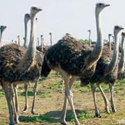Продаю страусов: взрослые семьи, самцы 3-х летние, годовалая птица, молодняк. Романовские овцы. Поставки страусиного мяса, страусиных яиц, баранина. фото