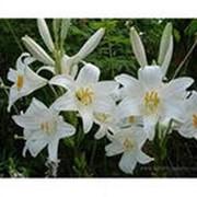 Белоснежные лилии фото