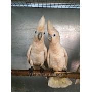 Попугай Саломонов Какаду фото