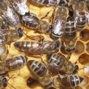 Селекция пчел цена, Хмельницкая область, Украина фото