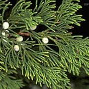 Можжевельник виргинский (Juniperus virginiana) фото