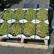 Виноград Султанин фото