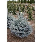 Ель колючая Мисти Блу (Picea pungens 'Misty Blue') фото