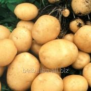 Картофель Ривьера 2 репродукция фото