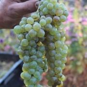 Белый виноград (ркацетели) на вино фото