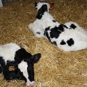 Заменитель Цельного Молока для телят Junior фото