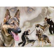 Эффективная дрессировка собак всех пород. фото