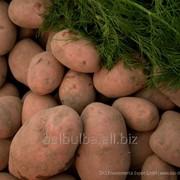 Картофель семенной Вектор Супер Элита фото