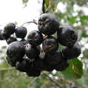 Рябина черноплодная свежезамороженная фото
