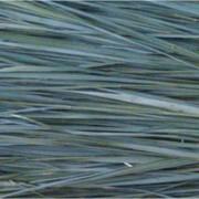 Трава Зубровка фото
