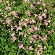 Саженцы декоративных растений Спирея японская (Froebelii) фото