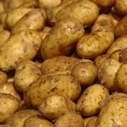 Картофель, продажа, Сумы, Украина фото