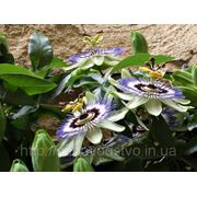 Пассифлора семена фото
