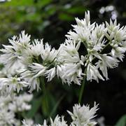 Ожика снежная (Luzula nivea) фото