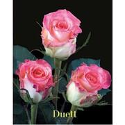 Розы розовые фото