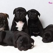 Стаффордширский бультерьер, щенки, продам фото