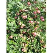Яблоки оптом напрямую от производителя фото