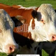 Скотоводство, Животноводство, Разведение крупного рогатого скота фото