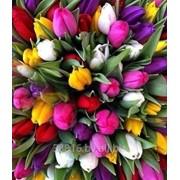 Тюльпаны выращенные из отборной голландской луковицы фото