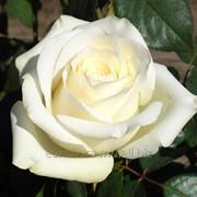 Розы сорта Анастасия фото