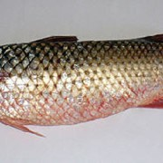 Рыба морская пеленгас фото
