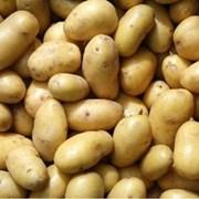 Картофель Галла фото