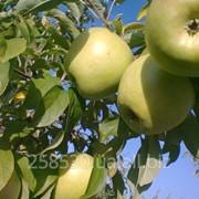 Яблоки Ренет Симиренко фото