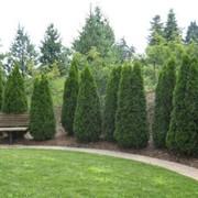 Деревья на посадку фото