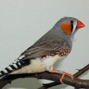 Птица амадина зебровая фото