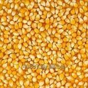 Кукуруза фуражная гост фото