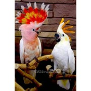 Какаду - ручные птенцы из питомников Европы фото
