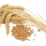 Поставка пшеницы ЖД транспортом фото