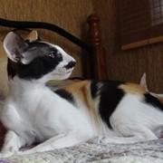 Кошка ориентальная и сиамская фото
