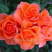 Роза alegria фото