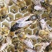Пчелопакеты Карника 2016 фото