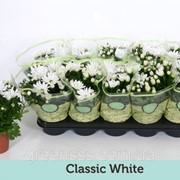 Хризантема Mount Runca белая -- Chrysanthemum Mount Runca White фото