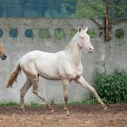 Продаётся ахалтекинский жеребец по кличке Магараджа/Akhal-Teke stallion sale named Maharajah фото