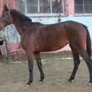Лошади хобби класса Кобыла Домра фото